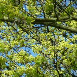 Acer platanoides  - Noorse esdoorn
