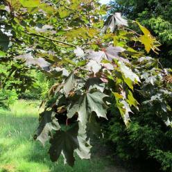 Acer platanoides 'Crimson King' - Roodbladige esdoorn