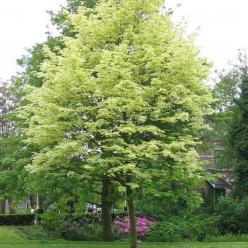 Acer platanoides 'Drummondii' - Bonte esdoorn
