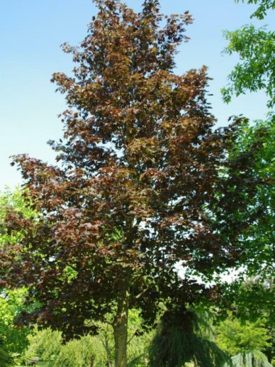 Acer platanoides 'Faassen's Black' - Roodbladige esdoorn
