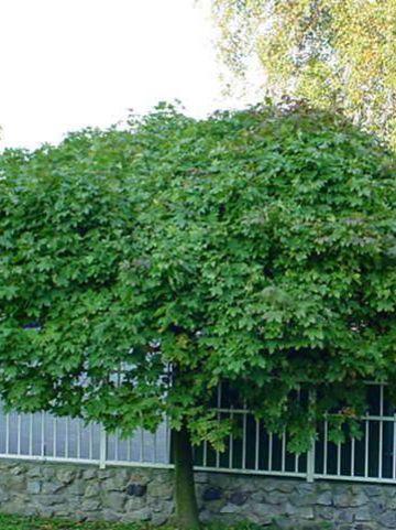 Acer platanoides 'Globosum' - Bolesdoorn , Dwergesdoorn