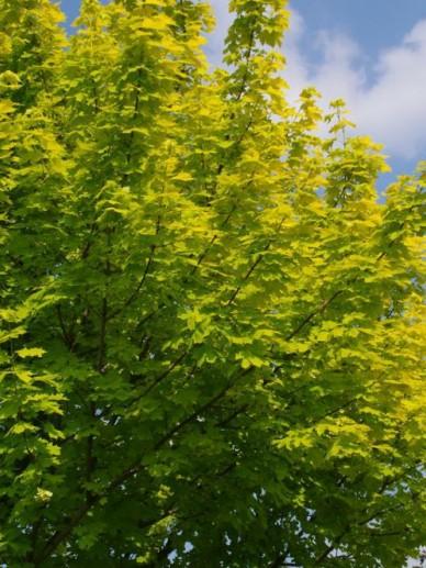 Acer platanoides 'Princeton Gold' (='Prigo') - Geelbladige esdoorn