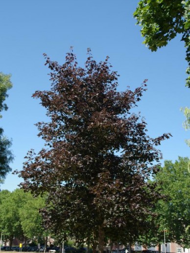 Acer platanoides 'Royal Red' - Roodbladige esdoorn