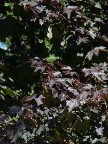 Acer platanoides 'Royal Red' - Roodbladige esdoorn