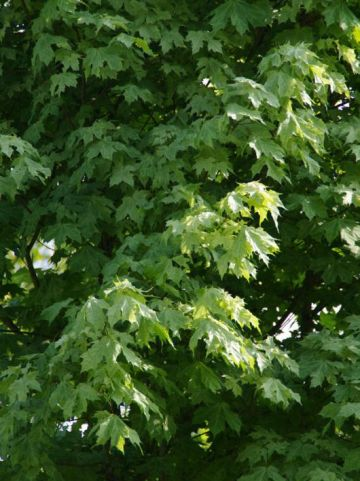 Acer platanoides 'Walderseei' - Bontbladige esdoorn