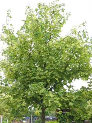Acer pseudoplatanus 'Leopoldii' - Gewone esdoorn
