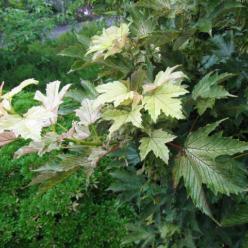 Acer pseudoplatanus 'Prinz Handjery' - Bolesdoorn , Dwergesdoorn