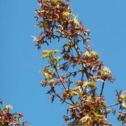 Acer rubrum 'Scanlon' - Canadese esdoorn