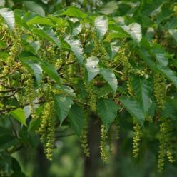 Acer rufinerve  - Slangenhuid esdoorn , Streepjesbast esdoorn