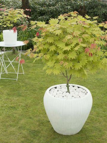 Acer shirasawanum 'Moonrise' (='MUNN 001') - Japanse esdoorn