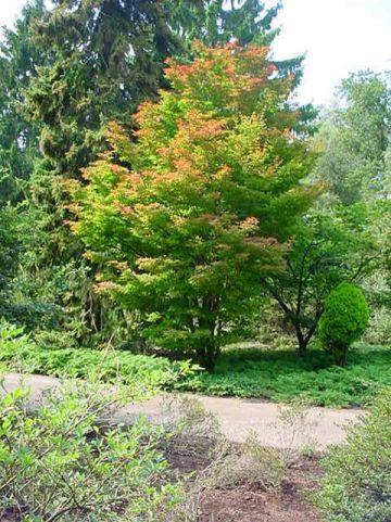 Acer sieboldianum  - Kleinbladige esdoorn
