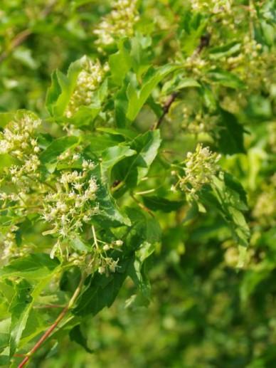 Acer tataricum subsp. ginnala  - Chinese esdoorn