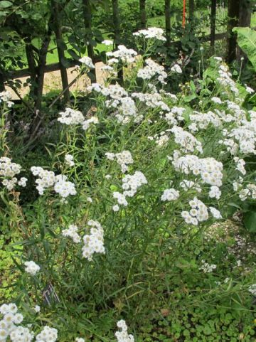 Achillea ptarmica  - Wilde bertram