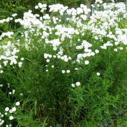 Achillea ptarmica 'Perry's White' - Wilde bertram
