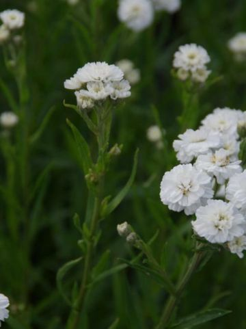 Achillea ptarmica 'The Pearl' - Wilde Bertram