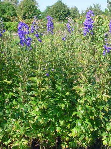 Aconitum carmichaelii 'Barker's Variety' - Monnikskap