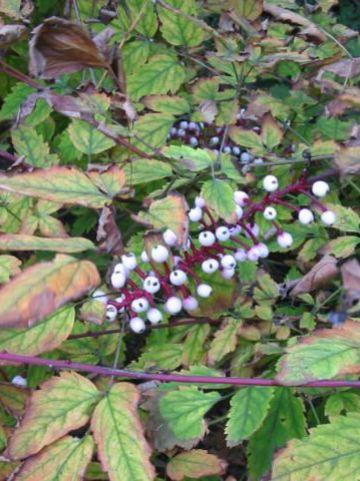 Actaea erythrocarpa 'Alba' - Christoffelkruid