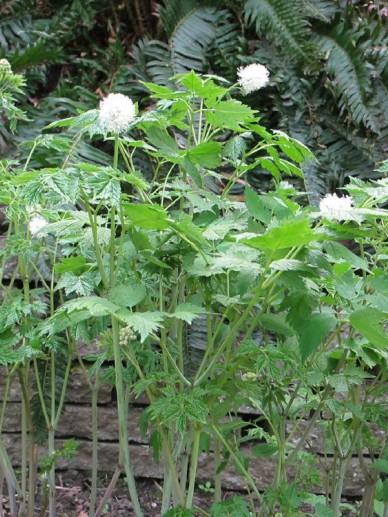 Actaea rubra neglecta  - Christoffelkruid