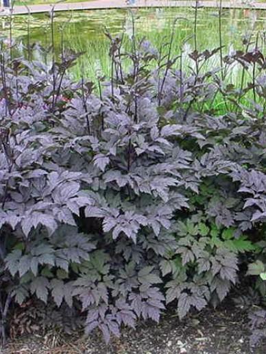 Cimicifuga ramosa 'Brunette' - (Donkerbladige) Zilverkaars