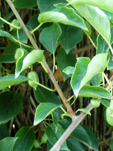 Actinidia arguta 'Issai '- Mini-kiwi, kiwibes