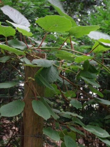 Actinidia deliciosa 'Atlas' - Kiwi , Straalstempel