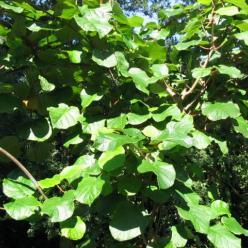Actinidia deliciosa 'Hayward' - Kiwi , Chinese straalstempel