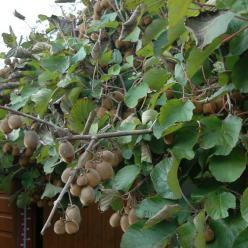 Actinidia deliciosa 'Solissimo' (='Renact') - Kiwi