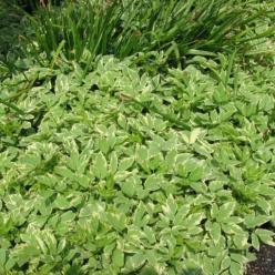Aegopodium podagraria 'Variegatum' - Bont zevenblad