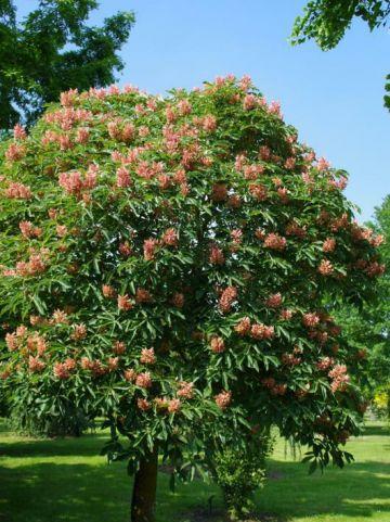 Aesculus × mutabilis 'Induta' - Dwergpaardekastanje