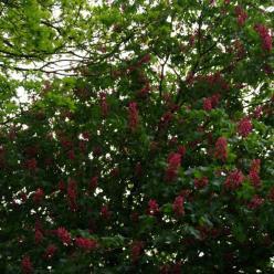 Aesculus carnea 'Briotii' - Rode paardekastanje
