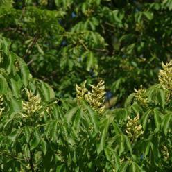 Aesculus flava  - Gele paardekastanje , Paardekastanje, geel