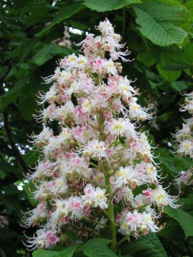 Aesculus hippocastanum - Witte paardenkastanje