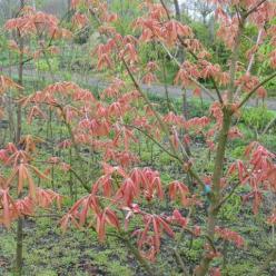 Aesculus × neglecta  'Erythroblastos' - Kastanje