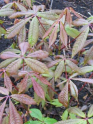 Aesculus parviflora - Herfstpaardenkastanje