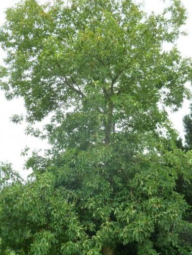 Aesculus pavia  - Rode kastanje