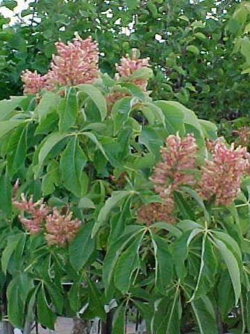Aesculus pavia 'Humilis' - Dwergkastanje , Kastanje