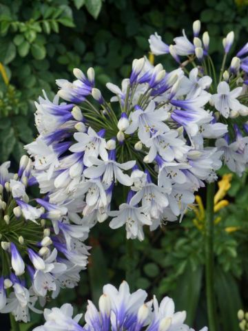 Agapanthus  'Twister' (='AMBIC001') - Afrikaanse lelie