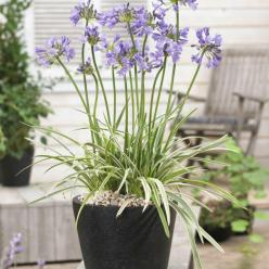 Agapanthus  'Silver Moon' (='Notfred') - Afrikaanse lelie