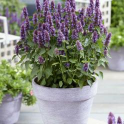 Agastache  'Beelicious Purple' (='Agapd') - Dropplant