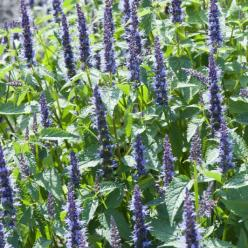 Agastache  'Astello Indigo' - Dropplant