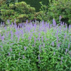 Agastache 'Blue Fortune' - Anijsnetel, Dropplant, Koreaanse Munt