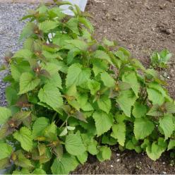 Agastache foeniculum  - Dropplant