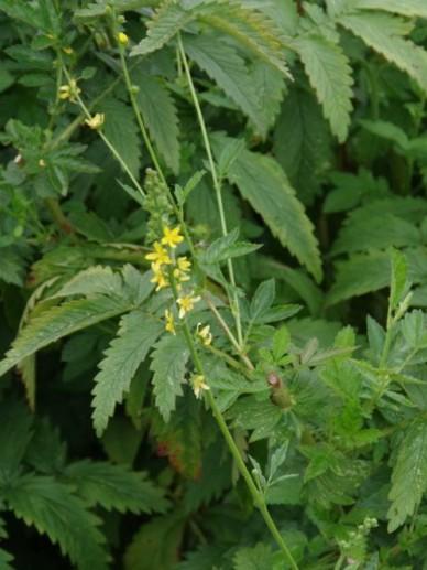 Agrimonia eupatoria  - Agrimonie