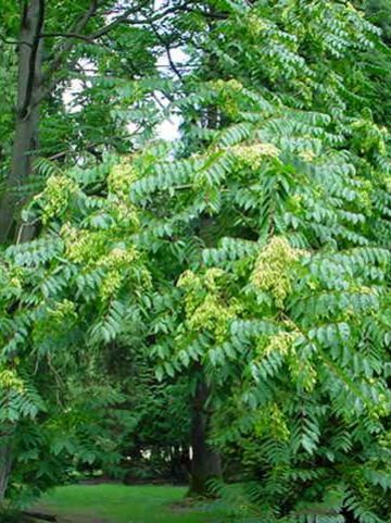 Ailanthus altissima  - Hemelboom