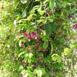 Akebia quinata - Klimbes, schijnaugurk