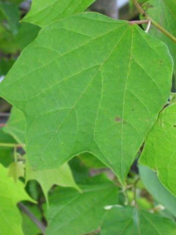 Alangium platanifolium  -
