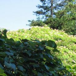 Albizia julibrissin - Perzische slaapboom