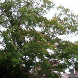 Albizia julibrissin 'Tropical Dream' (='Pos 1') - Perzische slaapboom