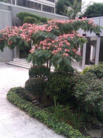 Albizia julibrissin var. rosea  - Perzische slaapboom , Constantinopel acacia , Zijdeboom