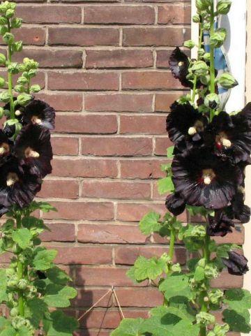 Alcea rosea 'Nigra' - Zwarte stokroos